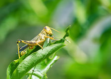 Grasshopper eating and destroying leaves Royalty Free Stock Images