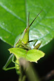 Grasshopper eating on a green leaf Royalty Free Stock Image