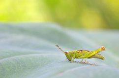 Grasshopper eating leaf Stock Photo