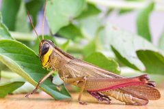 Grasshopper eating a leaf. Royalty Free Stock Photography