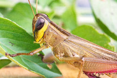 Grasshopper eating a leaf. Stock Photo