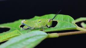 Grasshopper eating a leaf. HD Stock Image