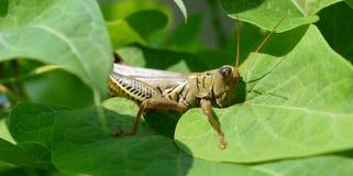 Grasshopper eating Royalty Free Stock Photos
