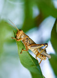 Grasshopper eating leaves Royalty Free Stock Photos