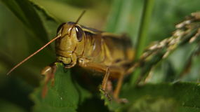 Grasshopper. Eating on a plant eating a leaf Royalty Free Stock Image