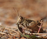 Grasshopper eats grass Royalty Free Stock Images