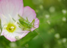 Grasshopper and Evening Primrose Stock Photos