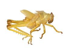 Grasshopper exoskeleton macro over white Stock Image