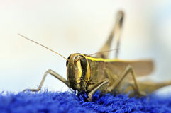 Grasshopper face Stock Images