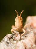 Grasshopper Face royalty free stock images