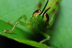 Grasshopper Face. A macro photo taken on the front face of a green grasshopper Stock Image
