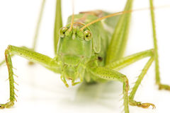 Grasshopper face closeup Royalty Free Stock Photos