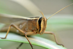 Grasshopper face macro Stock Image