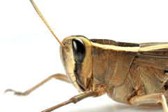 Grasshopper face macro Royalty Free Stock Images