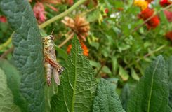 Grasshopper in fall garden. Red legged green grasshopper on leaf in colorful fall garden royalty free stock photo