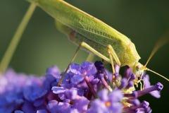 Grasshopper. Feeding on the flower Royalty Free Stock Image