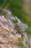 Grasshopper feeding on pampas grass at sunset Royalty Free Stock Images