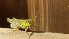 Grasshopper. On a fence Stock Images