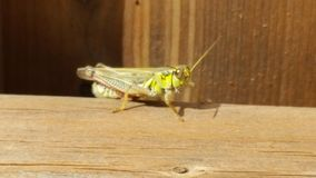 Grasshopper. On a fence Royalty Free Stock Image