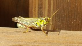 Grasshopper. On a fence Stock Image