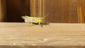 Grasshopper. On a fence Royalty Free Stock Images
