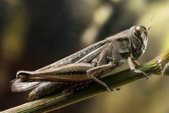 Grasshopper on fennel twig Stock Photography