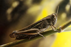 Grasshopper on fennel twig Royalty Free Stock Photography
