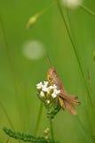 Grasshopper on flower Royalty Free Stock Image