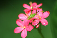 Grasshopper and flower royalty free stock images
