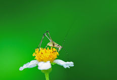 Grasshopper on flower. Early morning very beautiful grasshopper on flower royalty free stock photo