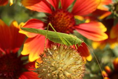 Grasshopper. On the flower beautiful sunny day in the garden red flowers Stock Image