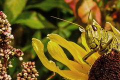 Grasshopper On Flower 3. Close up of a grasshopper on a flower royalty free stock photography