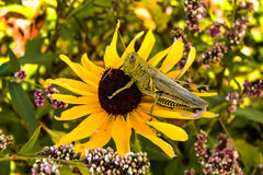 Grasshopper On Flower 4. Close up of a grasshopper on a flower Stock Photos