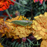 Grasshopper on flower Royalty Free Stock Photography