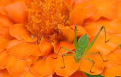 Grasshopper on a flower. Detailed photograph of a young green grasshopper sitting on a marigold Royalty Free Stock Photo
