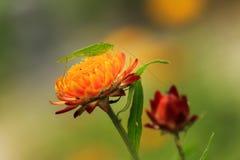 Grasshopper on flower Stock Photography