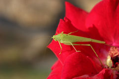 Grasshopper on a flower roses Royalty Free Stock Image