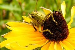 Grasshopper On Flower 1. Grasshopper sitting on a flower Stock Images