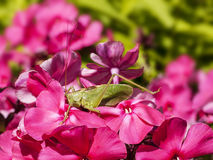 Grasshopper on a flower Royalty Free Stock Photo