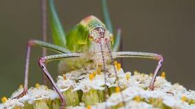 Grasshopper on a flower Stock Photography