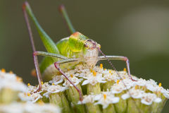 Grasshopper on a flower Royalty Free Stock Photos