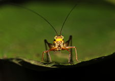 Grasshopper. Found in the secondary forest, perched at the edge of a leaf, ready to jump Stock Photography