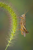 Grasshopper on foxtail Stock Images