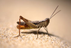 Grasshopper  france dune du pyla Royalty Free Stock Photo