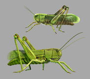 Grasshopper in front of gray background Royalty Free Stock Photography
