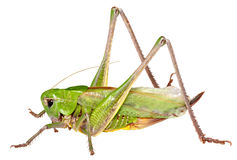 Grasshopper in front of isolated white background Stock Photos