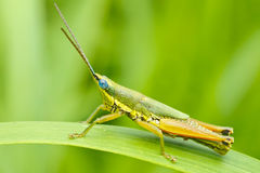 Grasshopper in front of natural background in the Stock Image