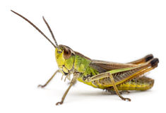 Grasshopper in front of white background Royalty Free Stock Images