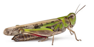 Grasshopper in front of white background Stock Photography