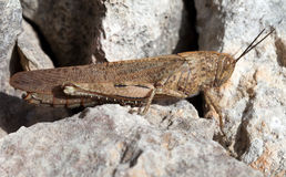 Grasshopper full body on rock background Royalty Free Stock Photos